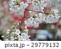 サクラ ソメイヨシノ 春の写真 29779132