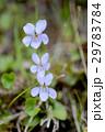 草花 タチツボスミレ 山野草の写真 29783784