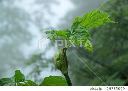 雨に濡れるミヤマシシウドのつぼみ 白山 29785099