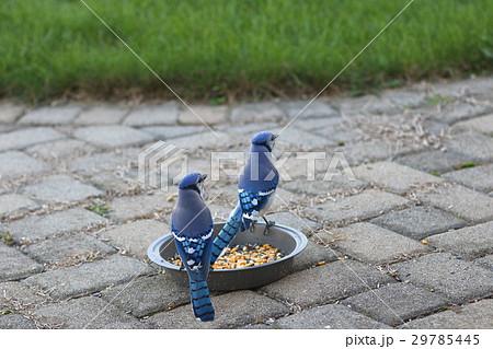 青い鳥 ブルージェイ 青カケス 29785445