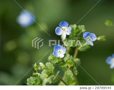 小さな春の野花オオイヌノフグリ 29799544