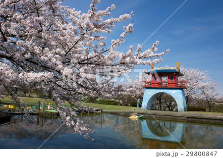 加賀市中央公園の桜 29800847