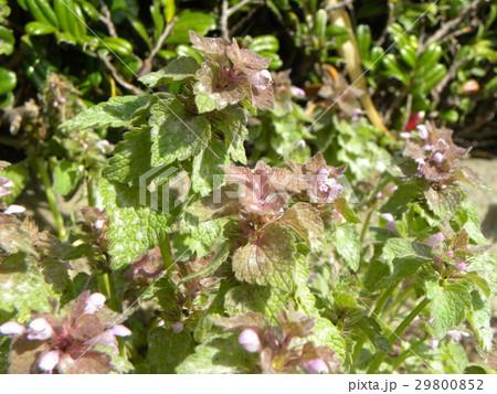 紫色の花を咲かす春の野草ヒメオドリコソウ 29800852