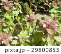 紫色の花を咲かす春の野草ヒメオドリコソウ 29800853