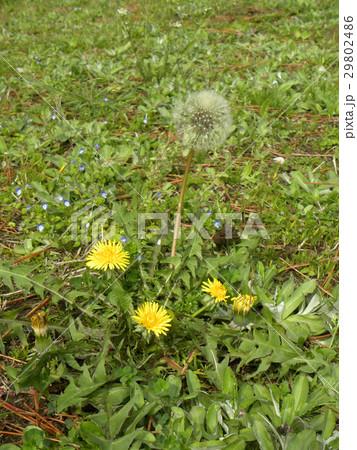 セイヨウタンポポの花と種 29802486