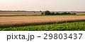 むぎ ムギ 小麦の写真 29803437