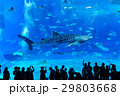 美ら海水族館で優雅に泳ぐ迫力のジンベエザメ 29803668