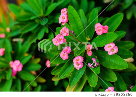 Pink crown of thorns flowers with green leaves 29805860