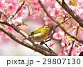 河津桜 桜 鳥の写真 29807130