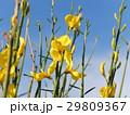 春の花 29809367