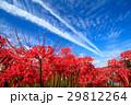 彼岸花 ヒガンバナ 青空の写真 29812264