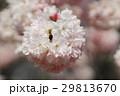 花 さくら サクラの写真 29813670