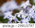 花韮 イフェイオン ベツレヘムの星の写真 29813797