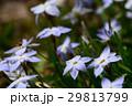 花韮 イフェイオン ベツレヘムの星の写真 29813799