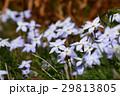 花韮 イフェイオン ベツレヘムの星の写真 29813805