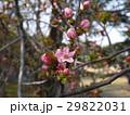 かりん 安蘭樹 花の写真 29822031