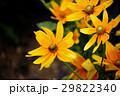 ルドベキア アラゲハンゴンソウ 花の写真 29822340