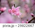桃の花 桃 花の写真 29822667