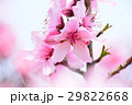 桃の花 桃 花の写真 29822668