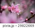 桃の花 桃 花の写真 29822669