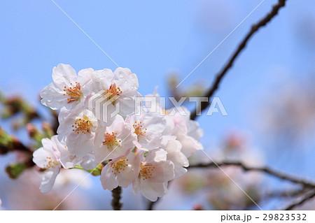 雨後の桜 アップ 29823532