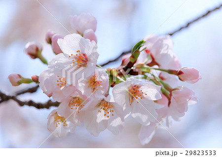 雨後の桜 アップ 29823533