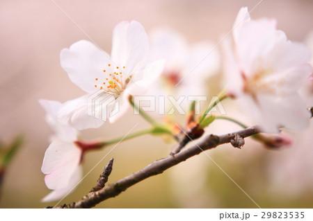 桜 アップ 29823535