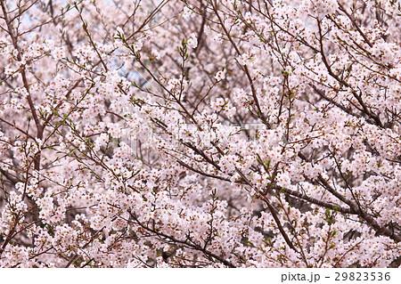 沢山の桜 29823536