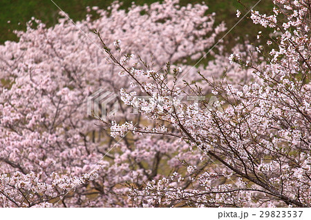 沢山の桜 背景ボケ 29823537