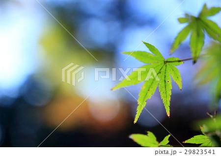 紅葉の前の緑の楓 29823541