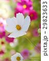 コスモス 花 白色の写真 29823633