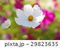 コスモス 花 白色の写真 29823635