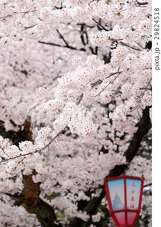 桜とぼんぼり 29824518
