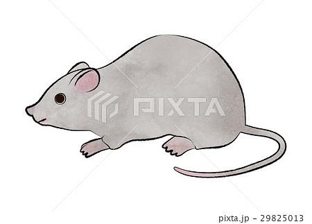 ネズミのイラストのイラスト素材 29825013 Pixta