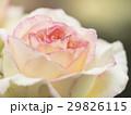 薔薇 29826115