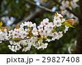 ヤマザクラ 桜 花の写真 29827408