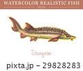水彩画 透明水彩 サカナのイラスト 29828283
