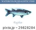 水彩画 透明水彩 サカナのイラスト 29828284