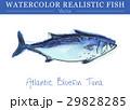 水彩画 透明水彩 サカナのイラスト 29828285