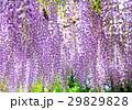 藤の花、藤棚 29829828