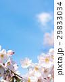 桜 ソメイヨシノ 花の写真 29833034