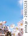 ソメイヨシノ 29833228