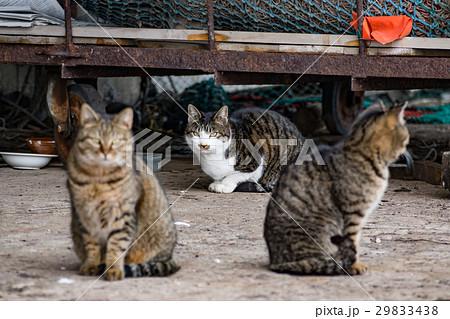 漁港に住む野良猫 / 北海道 小樽市 29833438