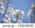 桜 4月 青空 29838685