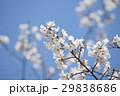 桜 4月 青空 29838686