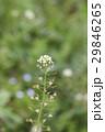 ナズナ 花 ペンペン草の写真 29846265