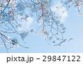 青空 桜 春のイラスト 29847122