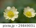 白花姫立金花 29849031