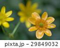 姫立金花 29849032