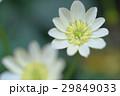 白花姫立金花 29849033